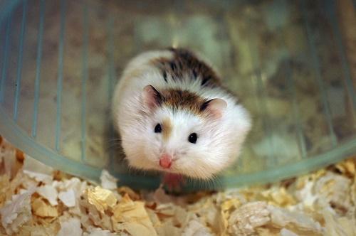 một năm hamster sinh sản bao nhiêu lần