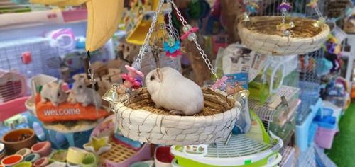 chuột hamster sinh sản