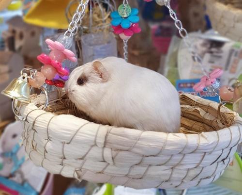 chuột hamster đẻ phải làm sao