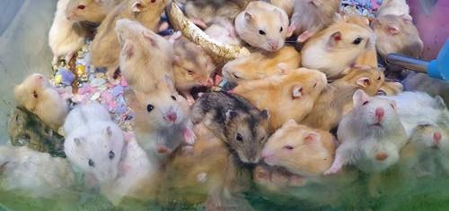 hamster robo sinh sản