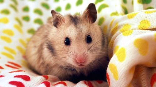 chăm sóc chuột hamster mẹ và con mới đẻ