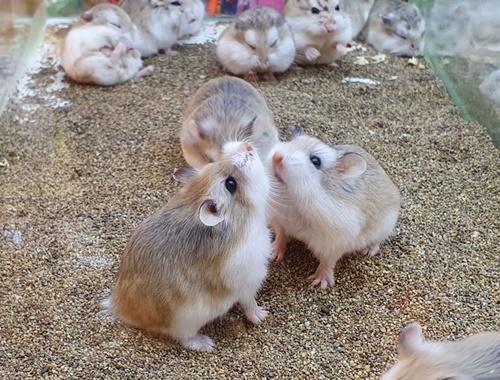hamster sinh sản bao lâu thì tách con ra riêng