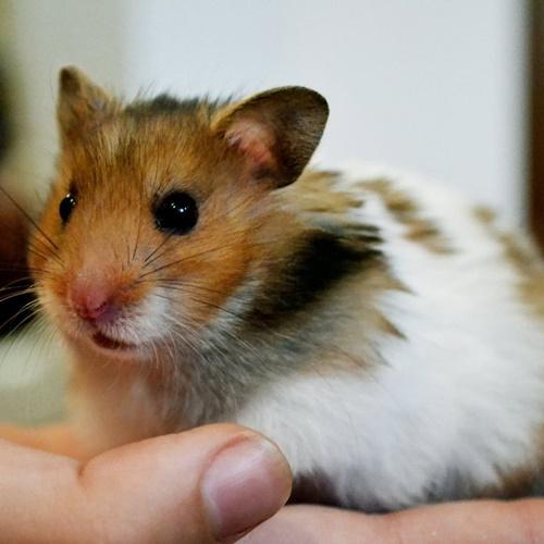 chu kỳ sinh sản của hamster