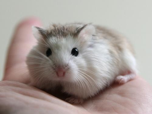 tuổi sinh sản của hamster