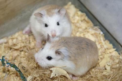 khi nào hamster sinh sản