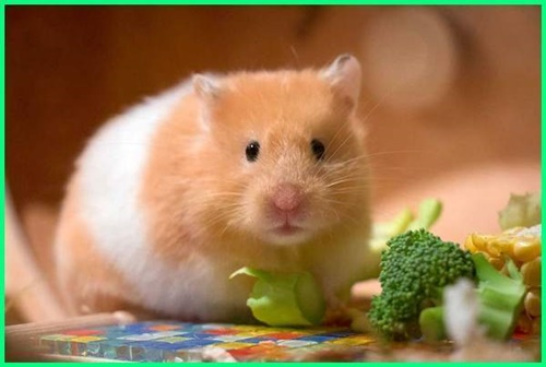 cách nuôi hamster sinh sản